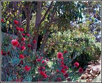 Bottlebrush Bushes